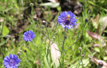 Bee pollination on cornflower for natural protection of flora