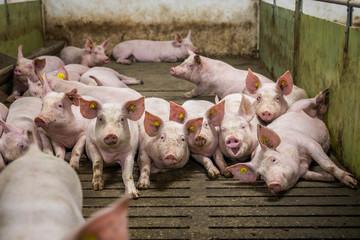 Pigs on the farm. Happy pigs on pig farm
