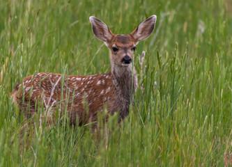 Foto op Aluminium Kangoeroe A Cute Mule Deer Fawn in a Grassy Meadow
