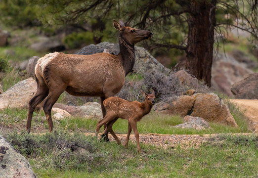An Elk Calf and Mother in Rocky Mountain National Park