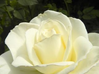 White rose flower in the summer garden.