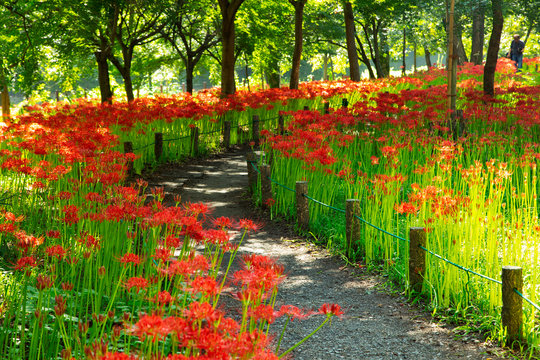 Fields of Spider Lily flowers in Kinchakuda