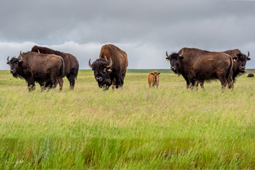 A herd of plains bison buffalo with a baby calf grazing in a pasture in Saskatchewan, Canada