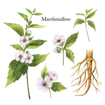 Hand drawn watercolor vector botanical illustration of Marshmallow.