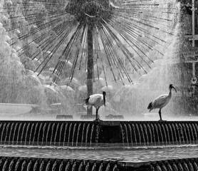 Pair of ibis birds in black and white, with the beautiful El Alamein Memorial fountain in the background, Kings Cross, Sydney, Australia
