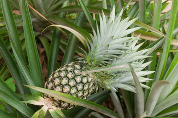 Green Unripe Pineapple on Bush in Thailand Pineapple Garden