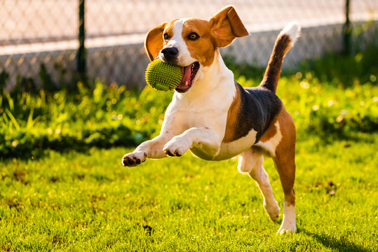 Beagle dog jumping and running with a ball
