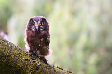 Włochatka/Aegolius funereus/Boeal owl