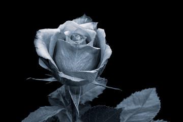 Isolated selen monochrome rose blossom macro,black background,single bloom, leaves,painting style