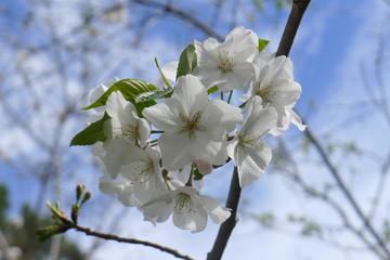 Sakura Cherry Blossom at the Fort Worth Botanic Garden