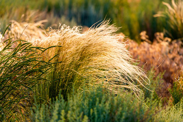 Beautiful of Feather Pennisetum or Mission Grass close up mode with back light of sunrise in the morning, abstract background concept.
