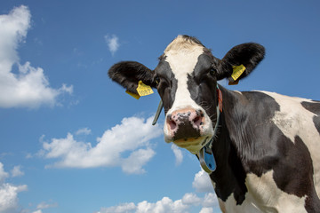 Foto op Canvas Koe Portrait of a wise mature black-and-white cow, penetrating look, dark dots on her pink nose, part of her collar hanging loose in the air, and a blue sky.