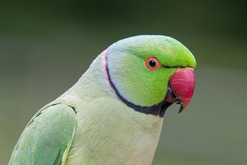 Closeup view of the green rose-ringed (Psittacula krameri) parakeet Fotomurales