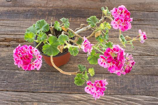 Geranium flower in pot on wooden background