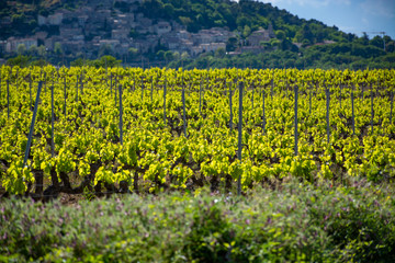Fototapete - Production of rose, red and white wine near small town Lacoste in Provence, South of France, vineyard in early summer