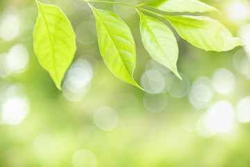 Foto auf Acrylglas Gelb Schwefelsäure Close up of nature view green leaf on blurred greenery background under sunlight with bokeh and copy space using as background natural plants landscape, ecology wallpaper concept.