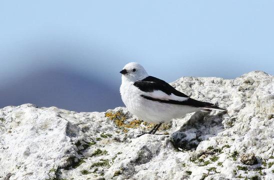 Snow Bunting, Plectrophenax nivalis, birds of Greenland