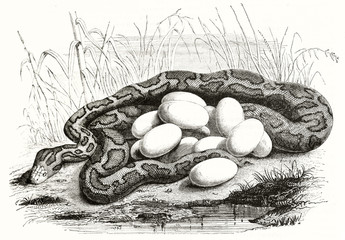 Old naturalistic etching style illustration of a rolled python hide in the high grass, brooding its eggs near a little pond. By Warner publ. on Magasin Pittoresque Paris 1848