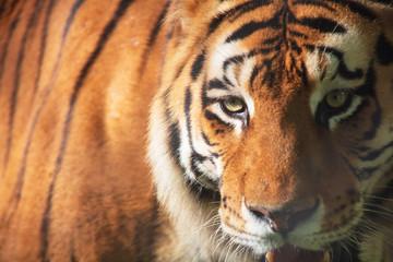 Close up de tigre