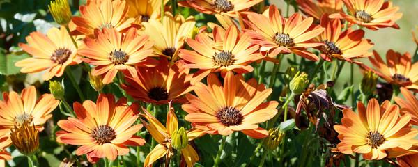 Marguerites du cap ou osteospermums jaune orange Wall mural