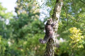 young blue tabby maine coon cat climbing up a birch tree in the back yard looking back at camera on sunny summer day