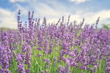 Obraz Beautiful lavender flower - fototapety do salonu