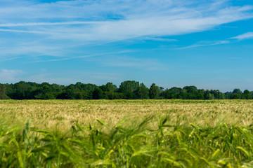 Bauernschaft mit Weizenfeld. Unscharfe Ähren im Vordergrund mit nach hinten laufendem Feld. Standort: Deutschland, Nordrhein-Westfalen, Borken