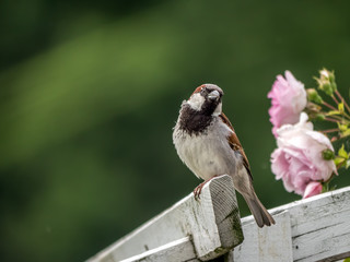 Sparrow sitting on pergola