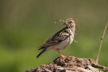 Stunning bird photo. Woodlark / Lullula arborea