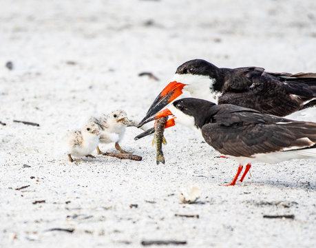 Baby black skimmers begging for food
