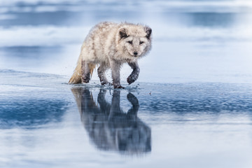 Beautiful arctic fox, standing on a hill in the snow, winter, Canada Fototapete