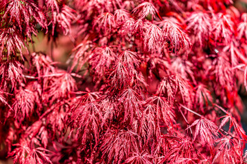 Closeup of Japanese Maple Tree with red spring or fall autumn foliage with pattern of leaves in sunlight Wall mural