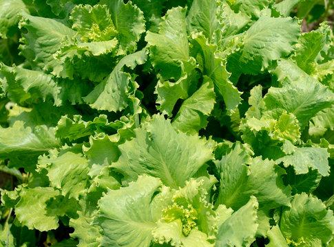 Leaf lettuce in the garden closeup