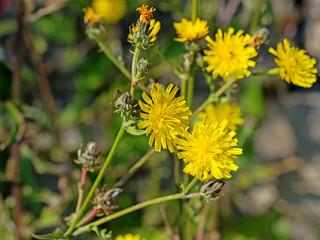 Blühendes Habichtskraut, Hieracium