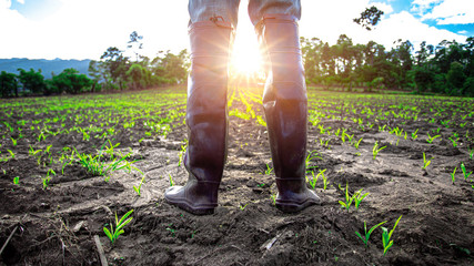 Farmer in rubber boots standing in cornfield with light of sunset. agricultural concept. Fotomurales