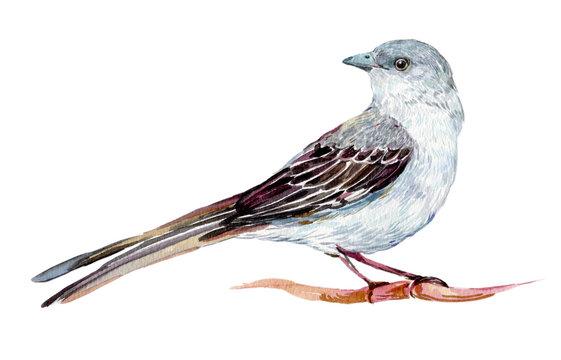 Mockingbird watercolor illustration on isolated white background