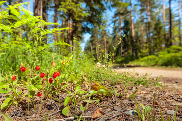 Wild strawberries at sunny day in forest.
