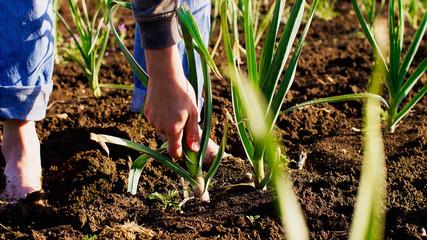 Fototapeta Barefoot farmer tears young garlic plant on the field doing his job, hands with garlic closeup. Working at farm. obraz