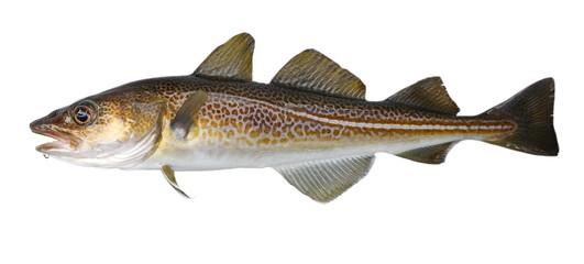 Atlantic cod fresh, Gadus morhua, fish of Greenland Wall mural