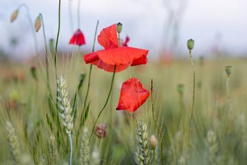 Sommerwiese, der Mohn