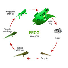 frog life cycle from eggs and Tadpoles to Froglet with short tail and adult Amphibia