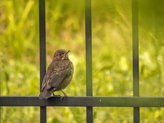 Blackbird sitting on metal fence
