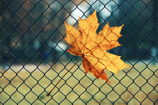 Maple leaf in the fence background