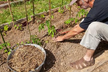 Paillage des tomates par le jardinier
