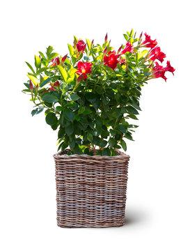tropische rot blühende Dipladenie Balkon Blume im Korb isoliert auf weißem Hintergrund
