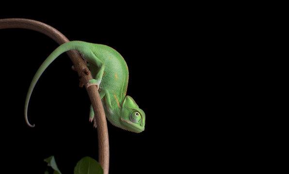 Green baby chameneon, Chamaeleo calyptratus, sitting on branch, black background