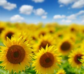 Fototapete - field of blooming sunflowers