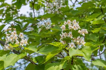Blüten von Catalpa bignonioides Trompetenbaum