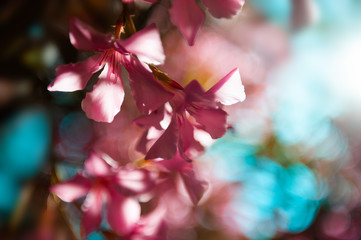 Blooming pink flowers. Blurred nature background. Macro image, selective focus