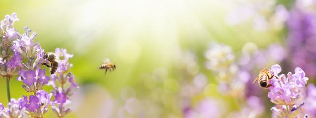 Tuinposter Lavendel Bienen in blühendem Lavendel Feld - Sommer - Panorama, Banner